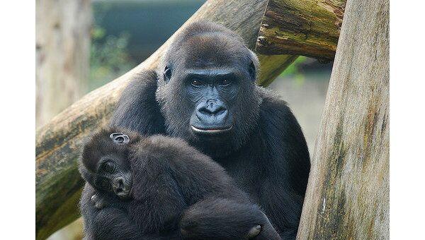 Семья горилл в Московском зоопарке вышла на солнышко