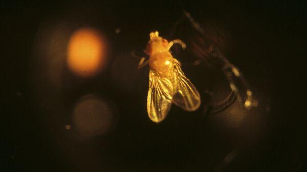 Плодовая мушка дрозофила