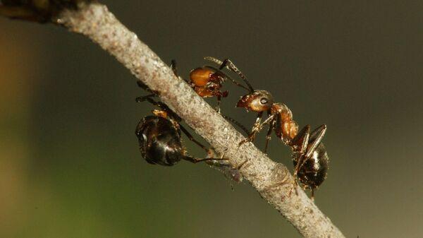 Общение рыжих лесных муравьев