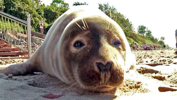 Тюлень греется на солнце вместе с отдыхающими на балтийском пляже