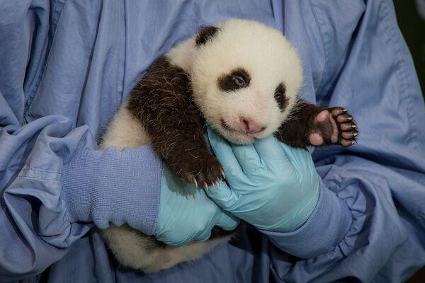 Детеныш панды в зоопарке Сан-Диего
