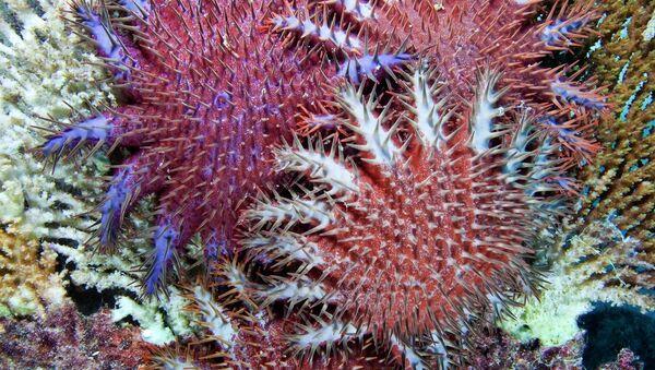 Морская звезда Терновый венец Crown of thorn - естественный враг коралловых полипов. Архив