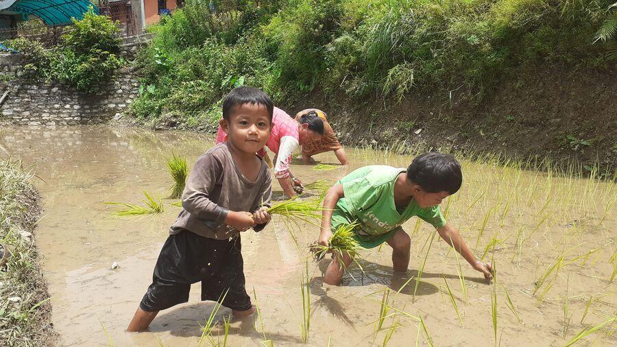 Непал. Посадка риса