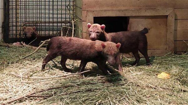 Щенки кустарниковых собак в Московском зоопарке