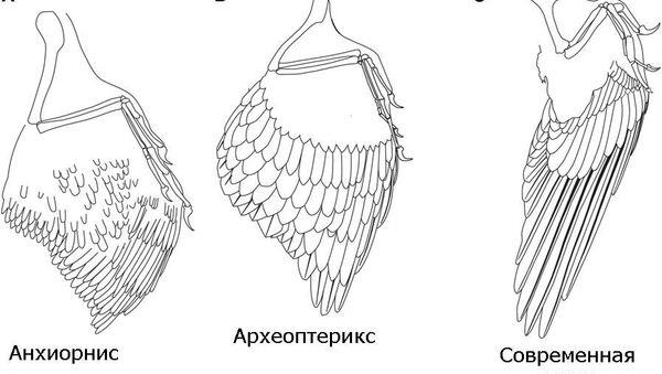 Крылья динозавра анхиорниса, протоптицы археоптерикса и современной птицы