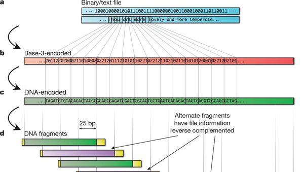 Схема кодирования информации в молекуле ДНК