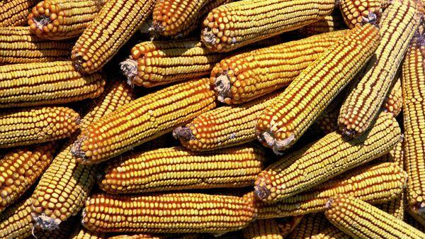 Кукуруза. Архив