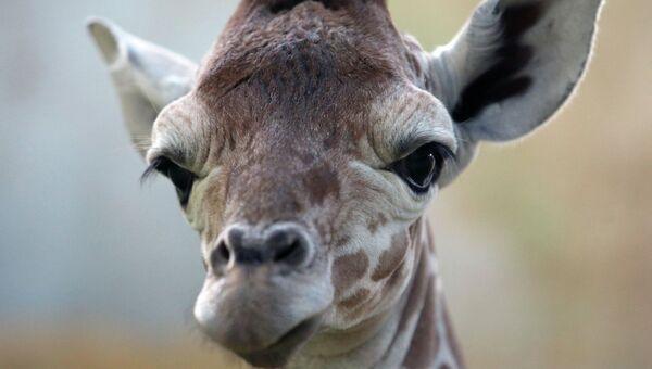 Жираф, архивное фото