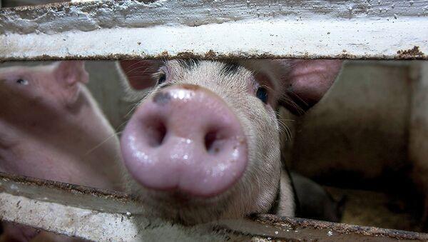 Питомник свиней. Архивное фото