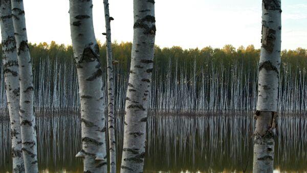 Березовый лес. Архив