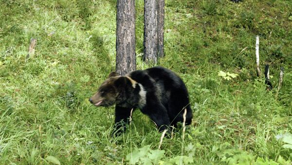 Бурый медведь в тайге