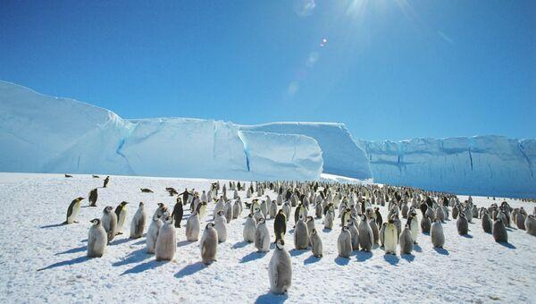 Колония императорских пингвинов в Антарктиде. Архивное фото