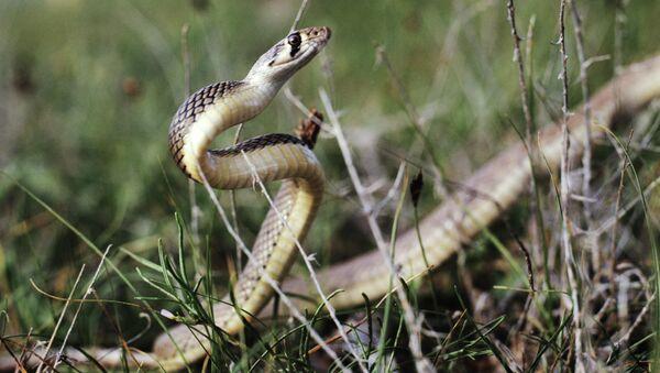 Полоз (Eryx) - род змей из подотряда ужеподобных. Архивное фото