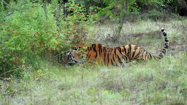 Амурский тигр в Приморье. Архивное фото