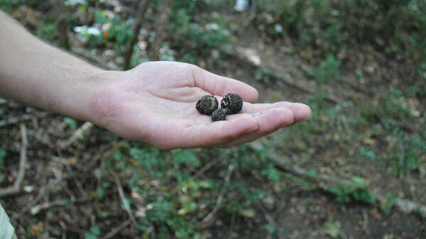 Найденные в Хорватии трюфели