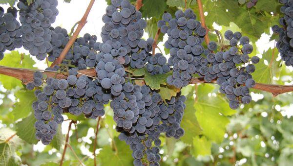 Виноградник. Архивное фото