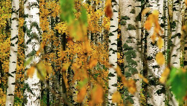 Березовый лес осенью
