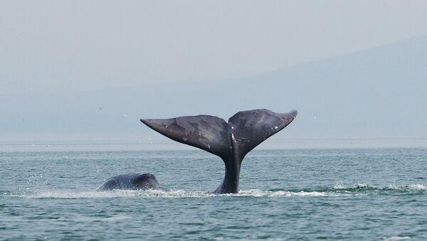 Гренландский кит, архивное фото