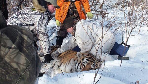 Спасение тигра в амурской тайге, фото с места события