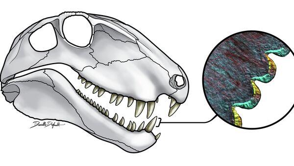 Череп диметрадона и его зубы. Иллюстрация авторов статьи.