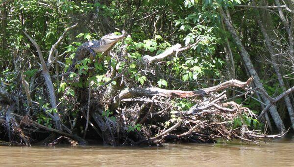 Миссисипский аллигатор на дереве, архивное фото