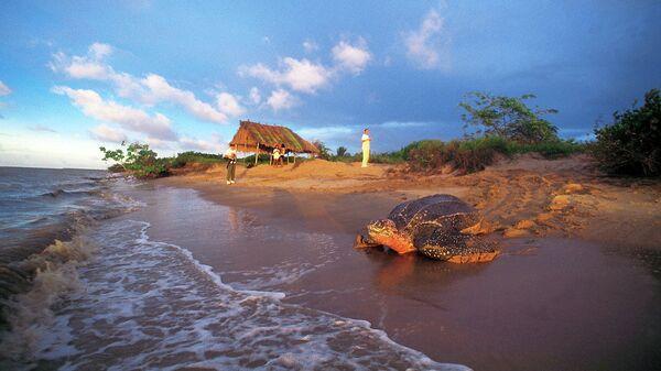 Кожистая черепаха. Архивное фото
