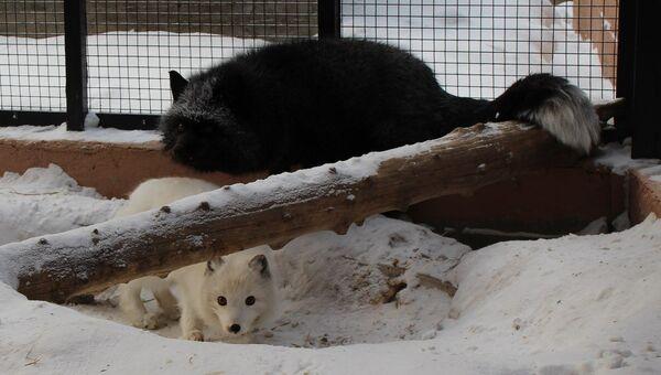 Песец Пуша и лис Мальчик из красноярского зоопарка Роев ручей, событийное фото