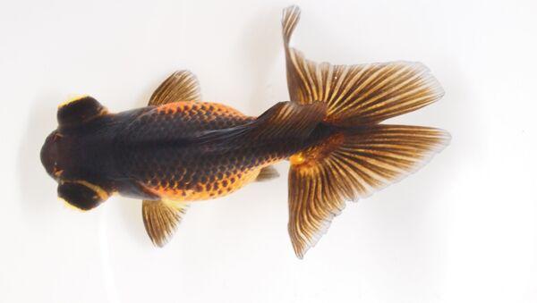 Одна из пород золотой рыбки с раздвоенным хвостом. Фотография авторов статьи.