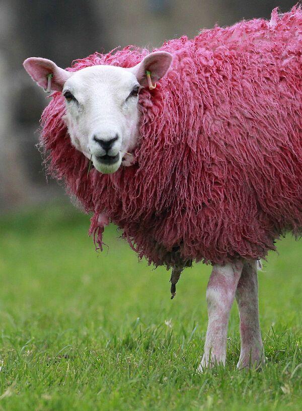 Розовая овца