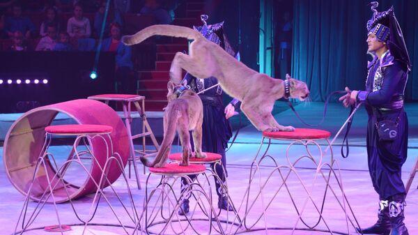Дрессированные пумы выступают в цирковом шоу